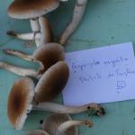 Agrocybe aegerata