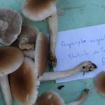 Agrocybe aegerita