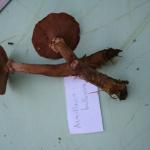 Armillaria bulbosa