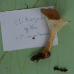 Clitocybe gibba