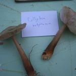 Collybia butyracea