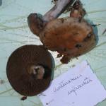 Cortinarius infractus (2)