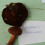 Cortinarius sanguineus