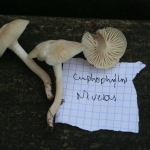 Cupphophyllus niveus