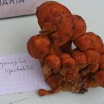 Gymnopilus spectabilis