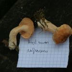 Hydnum rufescens