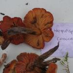 Hygrocibe conicoides