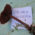 Laccaria amethystea