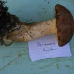Leccinum lepidum (3)