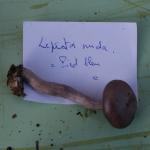 Lepista nuda (2)