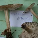 Megacollybia platyphyllia