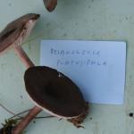 Megamelanoleuca platyphilla