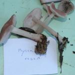Mycena rosea