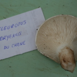 Pleurotus dryinus