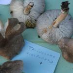Tricholoma scalpuratum