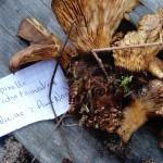 tapinella atrotomentosa